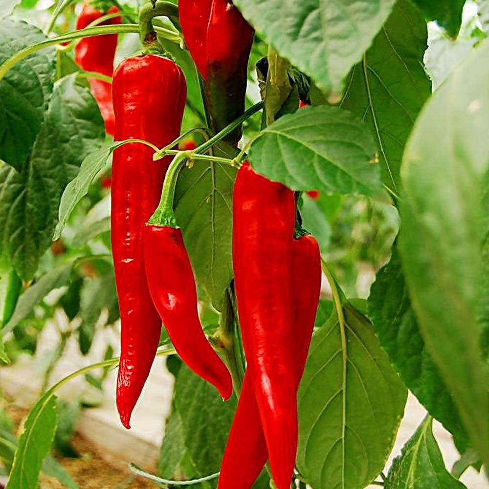 【臻美蔬果】大紅辣椒
