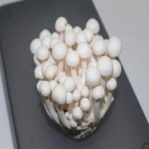 【臻美蔬果】美白菇